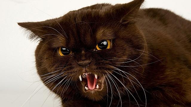 gato enfadado 10