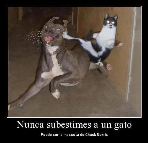 gato karateka nunca subestimes a un gato puede ser la mascota de chuck norris
